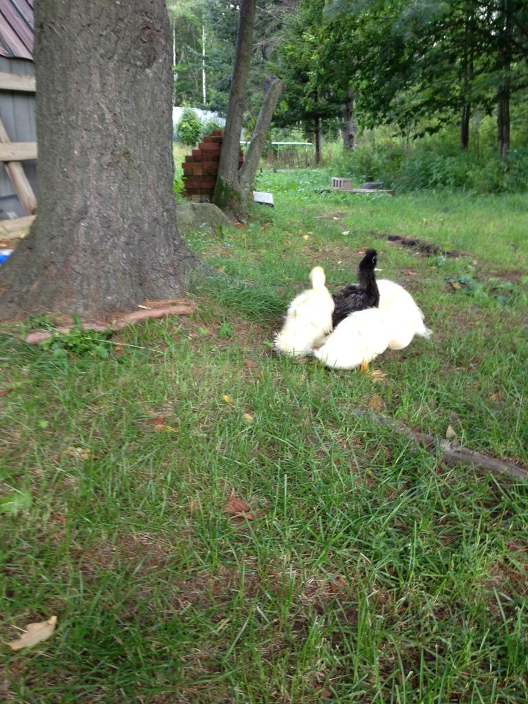 ducklings2 week four