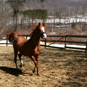 a running chestnut arabian stallion