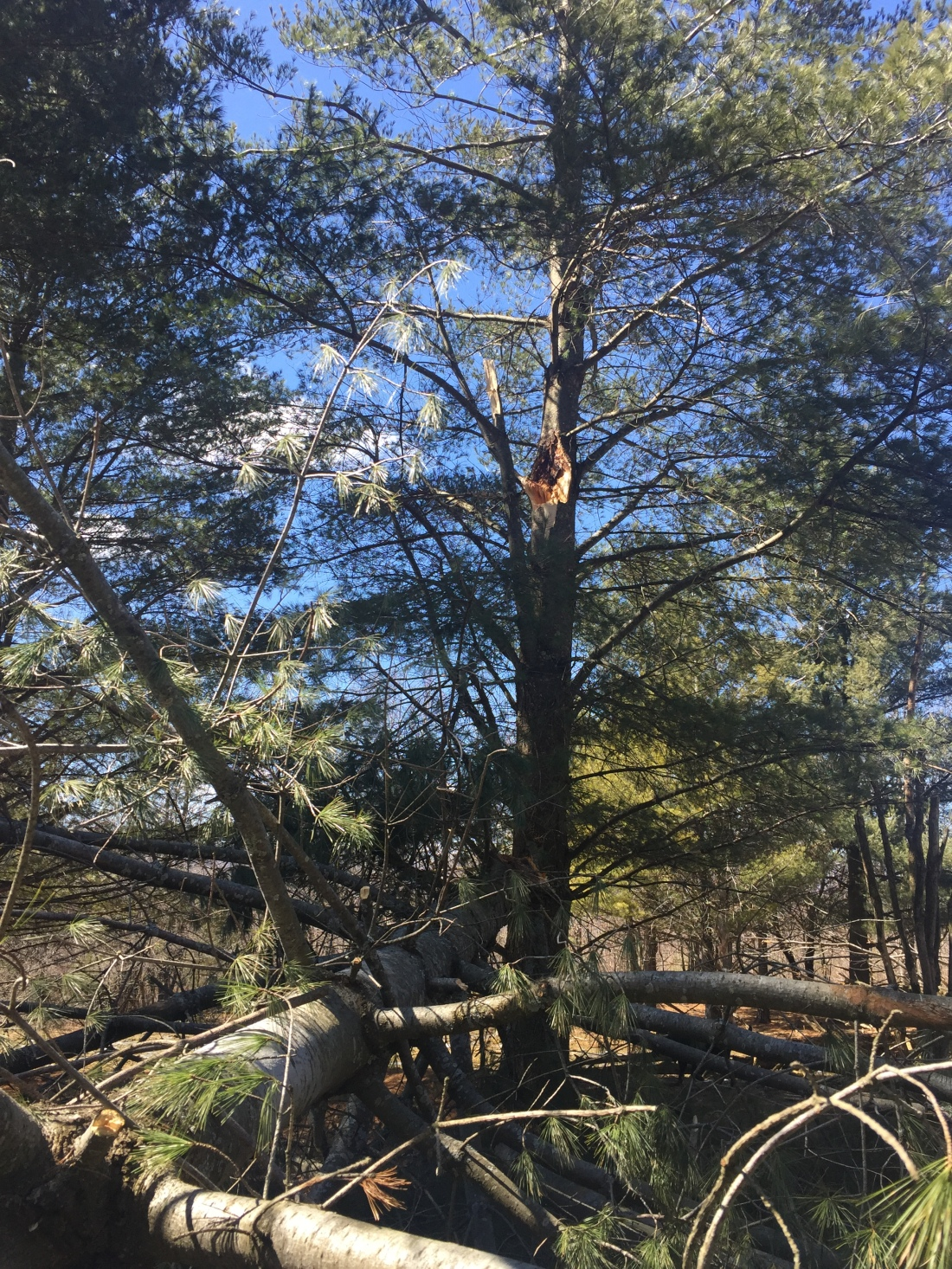 pine tree with fresh scar on its trunk, the broken trunk is lying on the ground