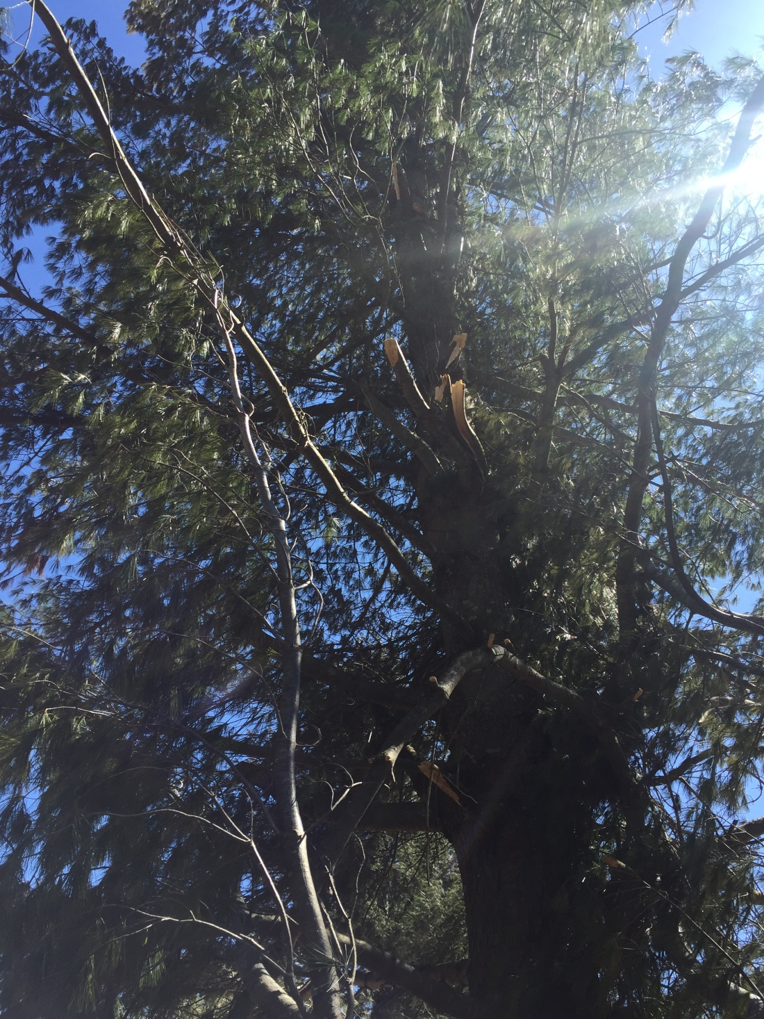 a standing pine tree on which all the branches on one side are broken