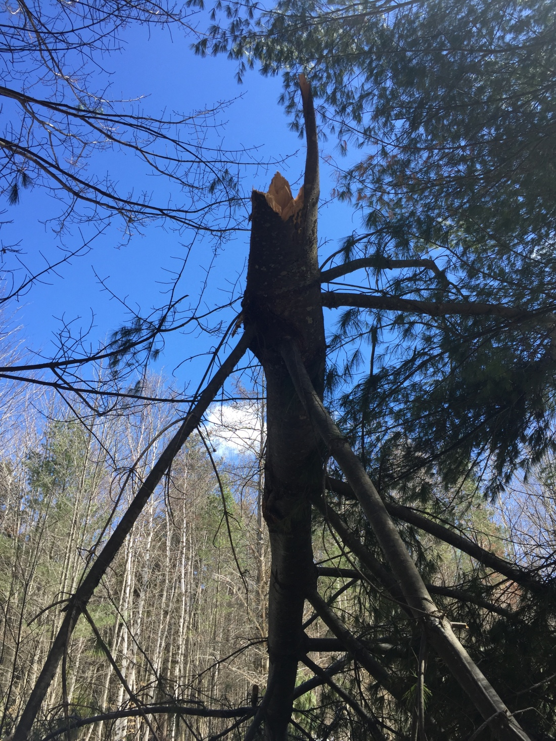 a pine branch against the blue sky with the broken end high in the air