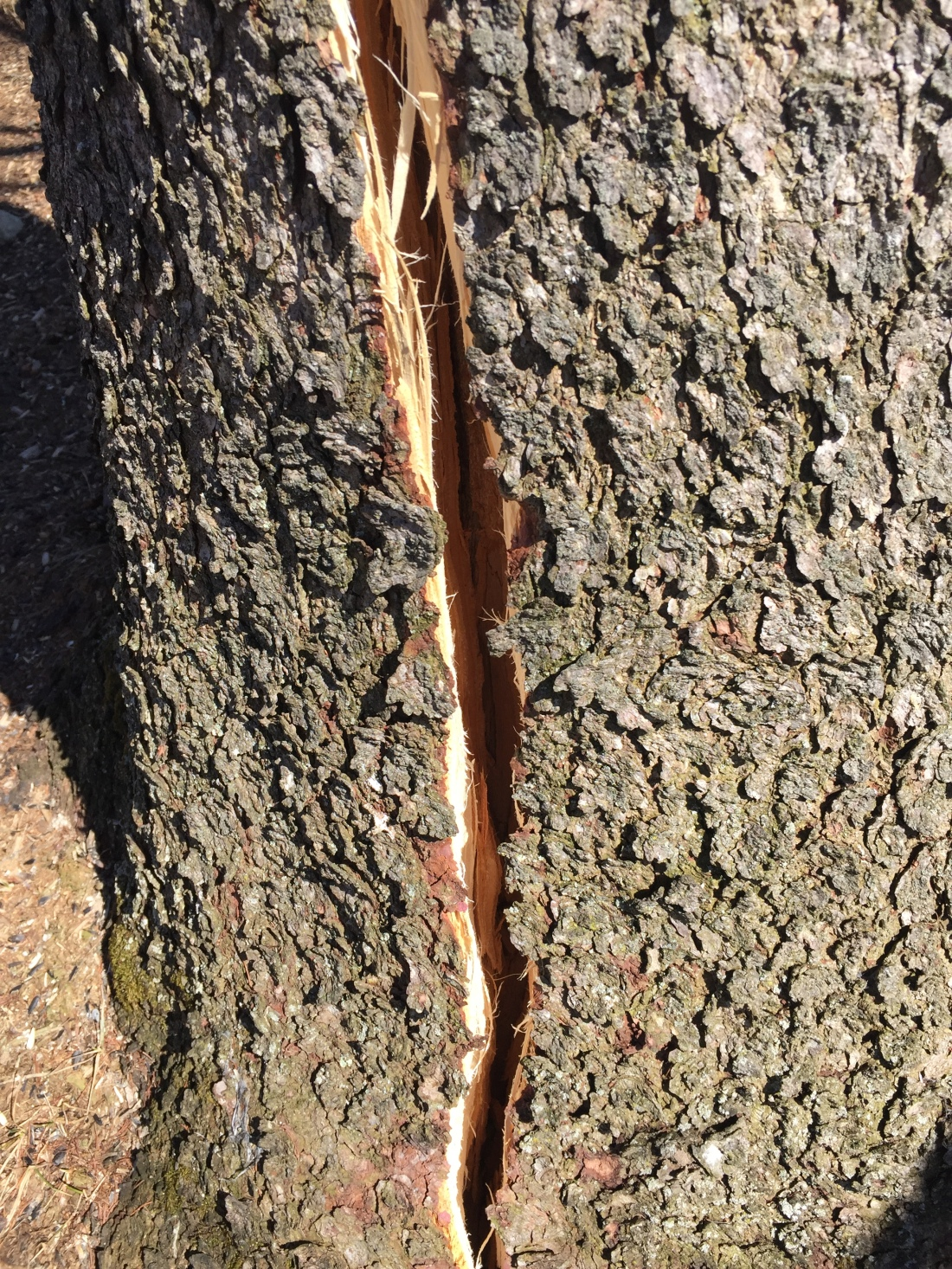 a deep vertical crack in the trunk of a standing tree